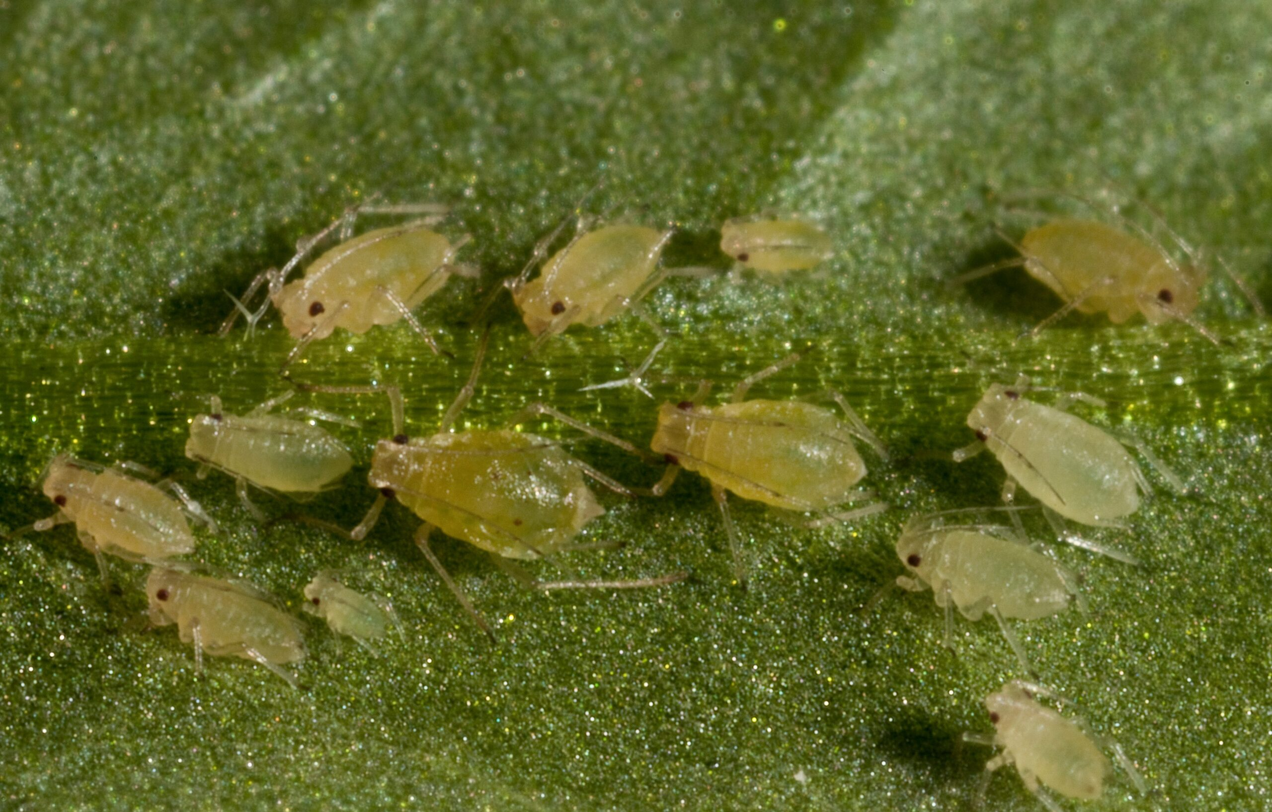 Apterous Myzuz persicae adults and nymphs on Arabidopsis thaliana