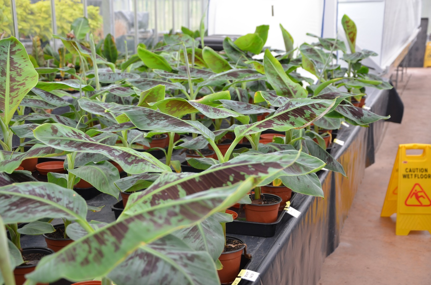 Young banana (Musa acuminata) plants in the University of Exeter greenhouse