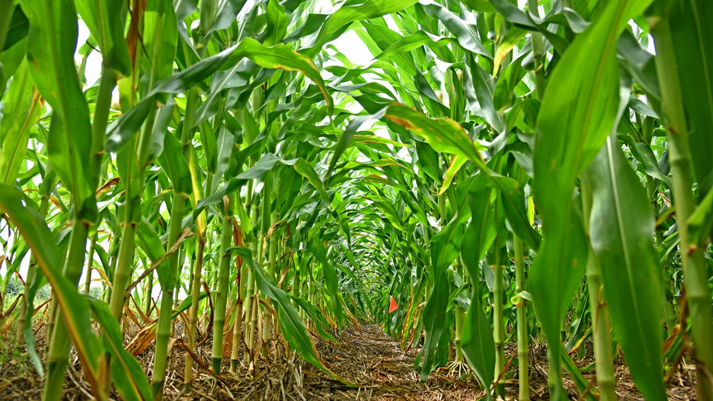To protect food crops like corn, a global effort to find, track and model plant diseases is imperative, according to researchers. CREDIT NC State University