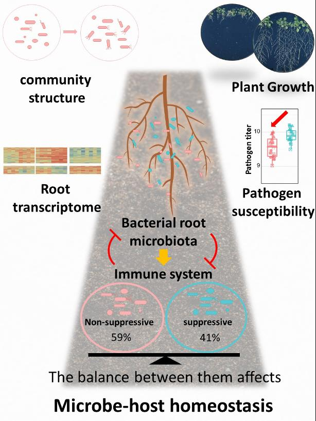 Plants grown in soil are colonized by diverse microbes collectively known as the microbiota. Non-suppressive (red) and suppressive microbiota members (blue) exhibit contrasting capacities to modulate plant immune responses. Their combined interactions have multifaceted impacts on community structure, plant growth, expression of root genes and disease susceptibility to pathogens. CREDIT Ka-Wai Ma