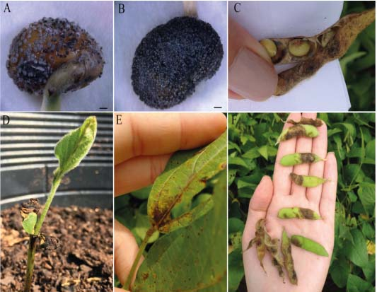 Soybean at different stages of growth displaying Anthracnose symptoms: A-B Infected seed, C Infected pods, D Infected seedling, E Dark pitting on mature leaf petioles and veins, F Dark mottle on mature soybean pods.