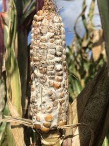 A maize ear fully susceptible to Fusarium graminearum ear rot.
