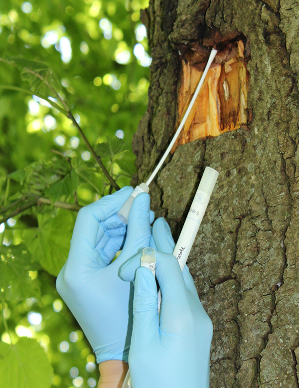 Photo of Lime trunk with a section of bark cut out. In the foreground, two blue nitrile gloved hands hold a cotton swab on the left, and a plastic tube on the right. The cut section is being swabbed. There are blurred green leaves in the background.