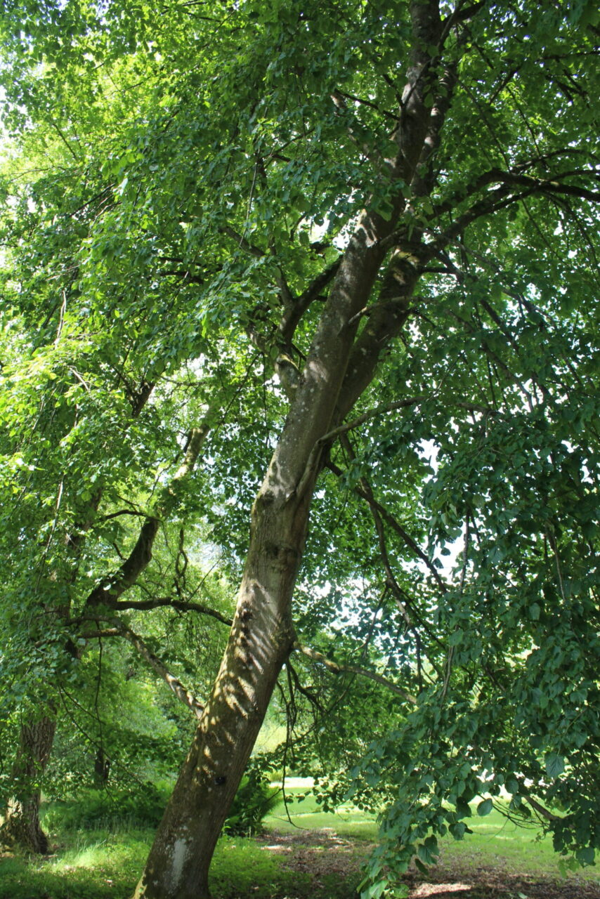 A photograph of a Lime tree.