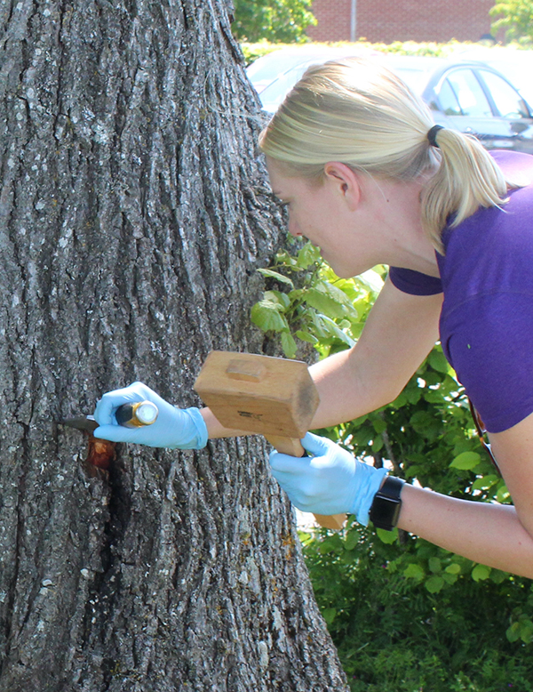 A tree trunk being studied. A blonde lady in a purple t-shirt holds a chisel in her right hand and a wooden mallet in her left hand. She has blue nitrile glove on and appears to be about to hit the head of the chisel with the mallet. The chisel is placed above a black canker on the tree bark.