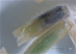 Two pieces of wheat stem tissue are displayed at a higher resolution. The upper piece appears pale and half of this stem is covered with a dark, grey fuzzy growth. By contrast the other piece of stem is a pale green with some apparent grey infection spreading at the cut end.