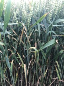 A side view of wheat plants growing in the field, from stem to filling ears. Amidst the green leaves are many dead, brown leaves. There are a number of leaves with extensive yellow areas and the telltale signs of Septoria leaf blotch disease.